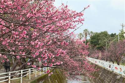 那覇市の与儀公園で春を楽しもう!「なはさくらまつり」が開催