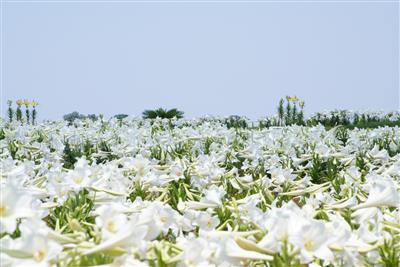 【中止】世界のゆり100品種が咲き誇る!「第25回 伊江島ゆり祭
