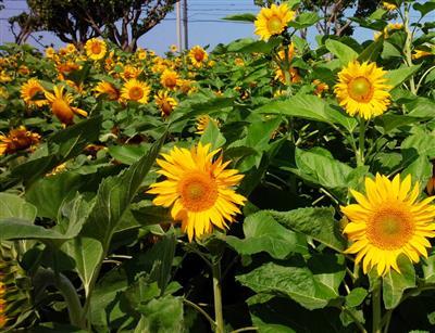約5000本のひまわりが咲き誇る「ひまわり畑の迷路」が3月11日