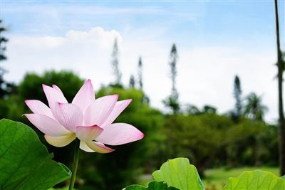 早朝に咲く、幻想的な花が楽しめる♪県内最大級の蓮池がある東南植物