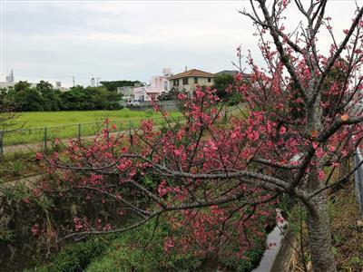 約600本の桜が咲き誇る、うるま市ヌーリ川桜並木めぐり