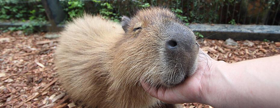 【東南植物楽園】カピバラやリスザル、ヨナグニウマなどの約50種の動物たちと自然の中で触れ合おう♪